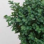 Buxus sempervirens Blauer Heinz