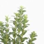 Buxus sempervirens Handsworthiensis
