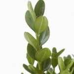 Buxus sempervirens Suffruticosa