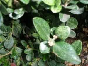 resultaat van spintmijten, stipjes en streepjes in het blad